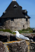 Sturmm&ouml;we (Larus canus) und Lille T&aring;rn (Kleiner Turm) auf Frederiks&oslash;, Ertholmene (Erbseninseln) bei Bornholm, D&auml;nemark, Europa<br /> common gull (Larus canus) and Lille T&aring;rn (little tower) on Frederiks&oslash;, Ertholmene, Isle of Bornholm Denmark