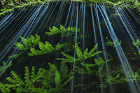 An unexpected, intimate falls over ferns in Oregon's Columbia Gorge.