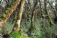 A forest interior on the Routeburn Track - Fiordland National Park