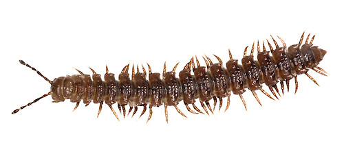 Flat-backed Millipede - Polydesmus angustus