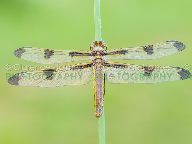 A dew covered teneral female Twelve-spotted Skimmer (Libellula pulchella) dragonfly waits for its wings to harden prior to its first flight.