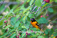 01611-09712 Baltimore Oriole (Icterus galbula) male eating serviceberry (Amelanchier canadensis)  Marion Co., IL