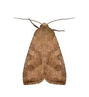 73.124 (2362)<br /> Butterbur - Hydraecia petasitis