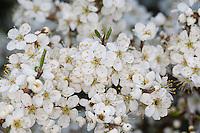 Gewöhnliche Schlehe, Schwarzdorn, Blüten, Prunus spinosa, Blackthorn, Sloe, Epine noire, Prunellier