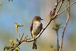 Eastern phoebe perched in a burr oak in northern Wisconsin