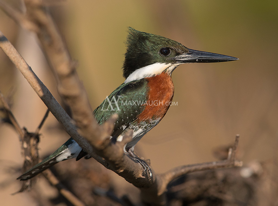 A male Green kingfisher perches near the water in the Pantanal.
