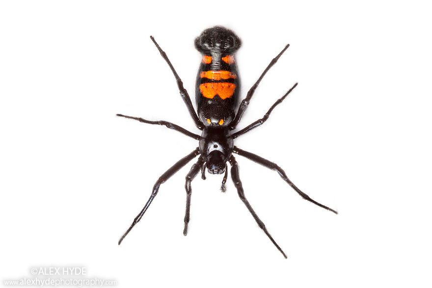 Black and orange orb-weaver spider {Araneidae} photographed in mobile field studio on a white background on the southern plateau of Maliau Basin, Sabah's 'Lost World', Borneo, Malaysia.