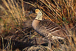 Hawaiian Goose, Hawaii, USA (Vulnerable)