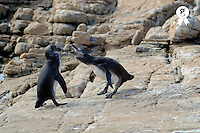 Two black footed Jackass penguin (Speniscus demersus) fighting on beach, South Africa, South Weatern Cape, Betty's Bay (Licence this image exclusively with Getty: http://www.gettyimages.com/detail/73014017 )