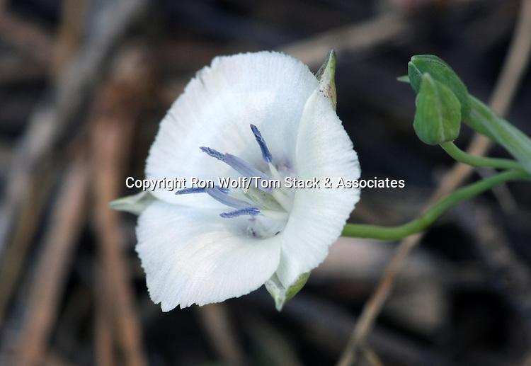 Sierra Mariposa Lily (Calochortus minimus) a/k/a Lesser Star Lily, Lesser Star Tulip. Crane Flat. Yosemite National Park. Mariposa Co., Calif.