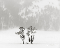Yellowstone National Park, Wyoming:<br /> Cottonwood trees alone in the Lamar Valley, winter