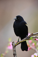 Red-winged Blackbird (Agelaius phoeniceus phoeniceus), male sitting on branch with flowers in background.