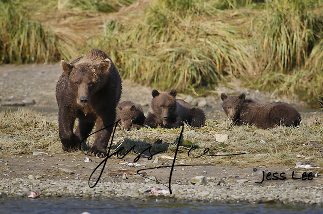 A photo of a sow grizzly with three cubs. Grizzly Bear or brown bear alaska Alaska Brown bears also known as Costal Grizzlies or grizzly bears
