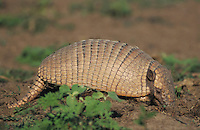 Big Hairy Armadillo (Chaetophractus villosus), adult digging, Pantanal, Brazil, South America