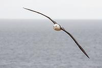 Thalassarche melanophris<br /> <br /> Black browed albatross in flight.