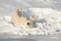 Polar Bear somersaulting in a snow bank - Series - 6 of 6