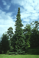 Serbian Spruce Picea omorika (Pinaceae) HEIGHT to 30m <br /> Narrowly conical to columnar tree, with a slender form unlike all other spruces. BARK Orange-brown and scaly in older trees. BRANCHES Lower branches are slightly descending with raised tips, higher branches being mostly level or ascending. All branches are short. LEAVES Flattened and keeled needles, to 2cm long, may be blunt or barely pointed, dark blue-green above with 2 pale bands below. REPRODUCTIVE PARTS Male cones are large and red, becoming yellow when releasing pollen. Female cones grow on curving stalks and are up to 6cm long, ovoid and blue-green at first, ripening to brown. Cone scales are rounded with finely toothed margins. STATUS AND DISTRIBUTION Native of limestone rocks of the Drina basin of Serbia, unknown until 1875, but now a popular ornamental tree