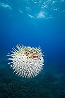 longspine porcupinefish, Diodon holocanthus, feed primarily at night on hard shelled invertebrates. Maui, Hawaii.
