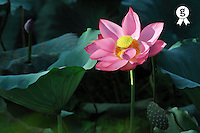 Lotus flower among water lily leaf (Licence this image exclusively with Getty: http://www.gettyimages.com/detail/83154219 )