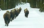 A group of bison walks along the road single file, as if they were marching with the drill instructors on the right, in Yellowstone National Park, Wyoming.  Photo by Gus Curtis.