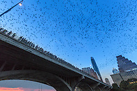 Austin's bridge bats are Mexican free-tailed bats. They migrate each spring from central Mexico to various roosting sites throughout the southwestern U.S. Most of the colony is female, and in early June each one gives birth to a single baby bat, called a pup. At birth the babies weigh one-third as much as their mothers (the equivalent of a human giving birth to a 40-pound child!).