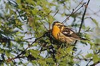 Blackburnian Warbler, Dendroica fusca, female, Port Aransas, Texas, USA, May 2007
