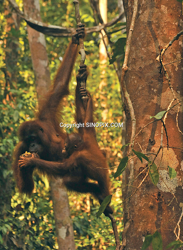 Delima's and her baby born Feb 2009 eat together at the Semenggoh Reserve, Sarawak, Malaysia, August 2009.  They  they are part of Sarawaks's Orangutang Rehabilitation Programme<br /> <br /> Photo by Richard Jones / Sinopix