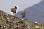 Argali (Ovis ammon) mother and lamb, Sarychat-Ertash Strict Nature Reserve, Tien Shan Mountains, eastern Kyrgyzstan
