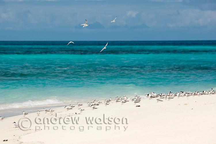 Flock of Grey Noddy Terns on Vlassof Cay, near Cairns.  Great Barrier Reef Marine Park, Queensland, Australia