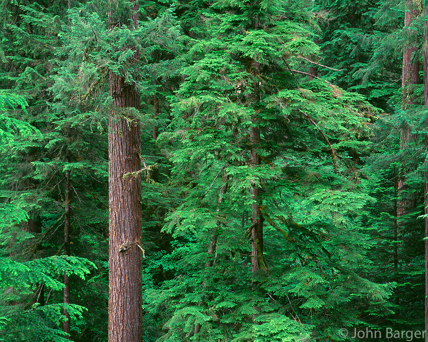 ORCAC_013 - USA, Oregon, Willamette National Forest, Middle Santiam Wilderness, Old-growth forest of western hemlock and Douglas fir.