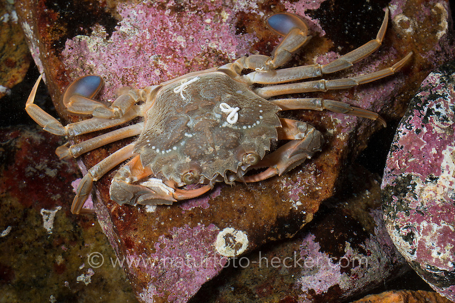 Blaupaddel-Schwimmkrabbe, Bewimperte Schwimmkrabbe, Ruderkrabbe, Schwimmkrabbe, Hafenkrabbe, Liocarcinus depurator, Portunus depurator, Macropipus depurator, Harbour crab, Sandy swimming crab, Blue-leg swimming crab, portunid crab