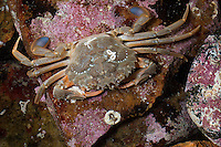 Blaupaddel-Schwimmkrabbe, Bewimperte Schwimmkrabbe, Ruderkrabbe, Schwimmkrabbe, Hafenkrabbe, Liocarcinus depurator, Portunus depurator, Macropipus depurator, Harbour crab, Sandy swimming crab, Blue-leg swimming crab, portunid crab