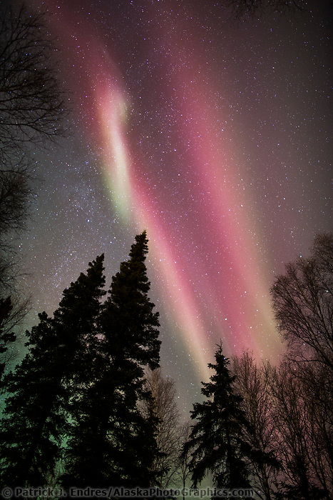 The aurora borealis hovers over spruce trees in Fairbanks, Alaska.