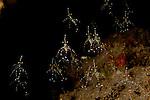 Cleaner shrimps (Urocaridella Sp.A)