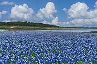 I pulled up this wonderful field of bluebonnets from my archives to share this great bluebonnet landscape along the Colorado river from spring a few years back.  This is Muleshoe Bend park and this was the most incredible site of texas bluebonnets I think I had ever seen.  As far as the eye could see it was acreas of bluebonnets along the river.  This area is normally under water and for a few short year during the drought this is what came up where the water had once been.  Well the water is back up and the bluebonnets are gone we just have a memories of these wonderful wildflower as they once were.