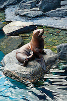 Sea lion sunning at an public Aquarium.