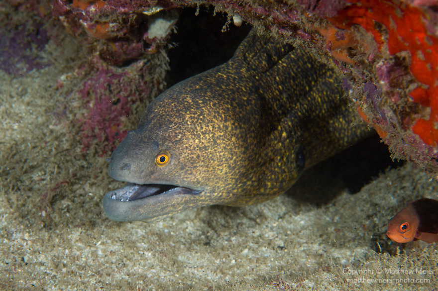Cocos Island, Costa Rica; a large Yellowedge Moray (Gymnothorax flavimarginatus) Eel poking it's head out from under a ledge in the rocky reef