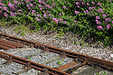 Pink Valerian (Centranthus ruber) growing along a railway line. This is an invasive alien plant species to the UK. Devon, UK. June.