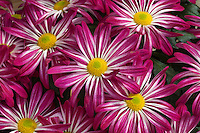 Chrysanthemum flowers, Pot Mum 'Apple Valley Cherry'