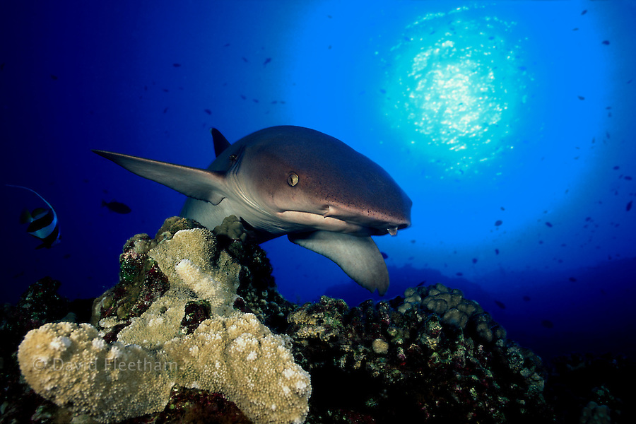 This whitetip reef shark, Triaenodon obesus, is sticking close to the reef in search of a meal.  Hawaii.