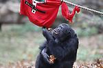 """Foto: VidiPhoto<br /> <br /> ARNHEM – Foute Kersttruien voor de Chimpansees Maleise beren donderdag in Burgers' Zoo in Arnhem. De truien waren gevuld met gezonde hapjes. Voor de dieren was het niet alleen een creatieve gedragsverrijking, maar het Arnhemse dierenpark v vraagt hiermee ook aandacht voor het initiatief """"Foute Kersttruiendag"""" van Save the Children dat op vrijdag 14 december 2018 wordt gehouden. Die dag is bedoeld om geld in te zamelen voor kinderen in oorlogsgebieden en landen waar honger heerst. Op vrijdag 14 december komen in heel Nederland scholen, bedrijven en verenigingen in hun foute kersttrui in actie voor kinderen in nood onder het motto """"Een echte held verzamelt geld."""" Foute Kersttruiendag vindt dit jaar voor de derde keer plaats. Natuurlijk onderzoekende gedrag stimuleren door voedsel op verrassende wijze aan te bieden, wordt in vrijwel alle dierentuinen op verschillende manieren toegepast."""