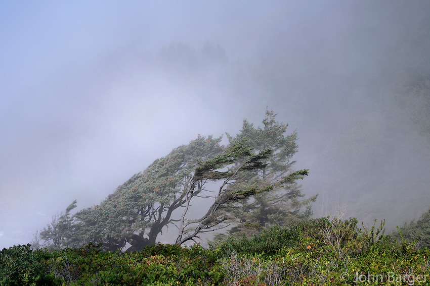 ORCOC_D252 - USA, Oregon, Siuslaw National Forest, Cape Perpetua Scenic Area, Wind-twisted Sitka spruce (Picea sitchensis) trees in fog near shoreline above a dense growth of salal.