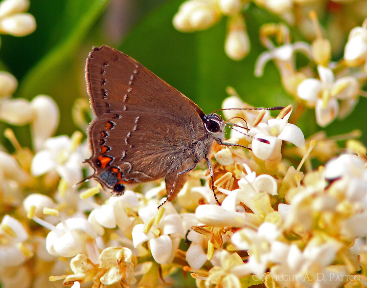 Oak hairstreak at blooming ligustrum