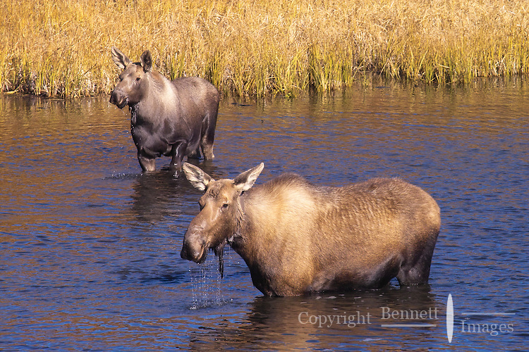 A female moose and her yearling check out an intruder at Denali National Park.