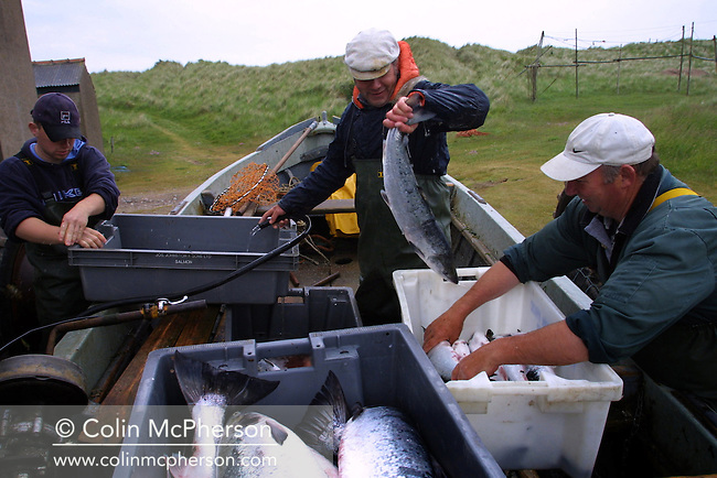 Fishermen packing wild salmon caught in coastal nets off Scotland's east coast at Kinnaber, Angus. The once-thriving Scottish salmon netting industry fell into decline in the 1970s and 1980s when the numbers of fish caught reduced due to environmental and economic reasons. By 2007, only a handful of men still caught wild salmon and sea trout using traditional methods, mainly for export to the Continent.