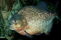 Piranha, Serrasalmus sp., are found in the freshwaters of Africa and South America. A shoal of piranhas can dispatch a victim in only a matter of minutes. (c)
