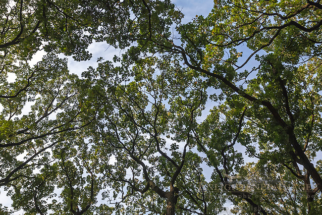 Oak tree canopy, Oak Brook, IL