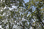Oak tree canopy, Oak Brook, IL