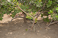 Example of a Less Well-tended Cashew Tree Farm, with less pruning of lower limbs, less clearing of under brush.  Near Sokone, Senegal.  This makes it harder to pick up the cashew apples and nuts after they have fallen to the ground.