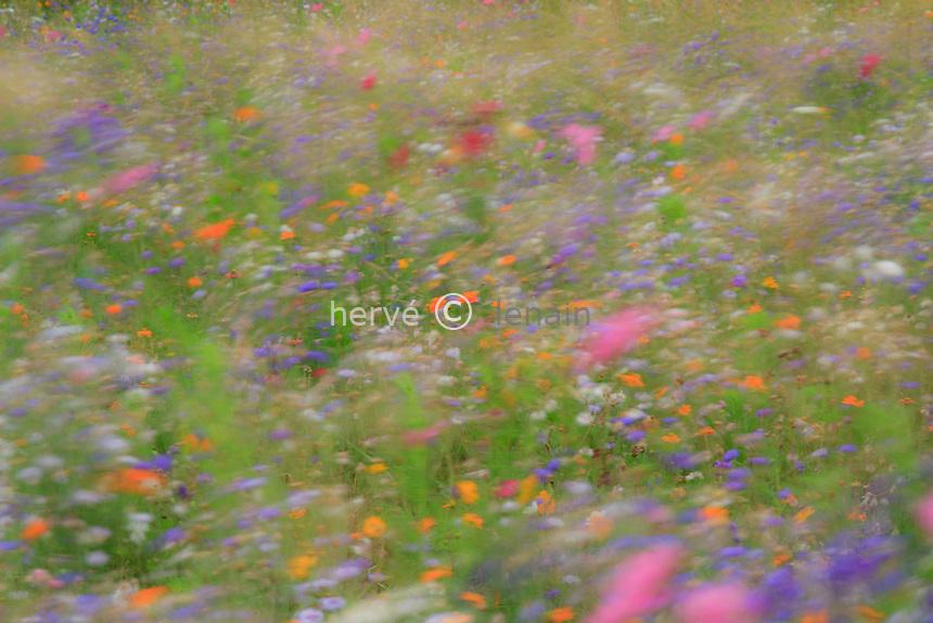 Flower meadow in France, Indre (36) shaken by the wind in long exposures with  cornflower (Centaurea cyanus), garden cosmos (Cosmos bipinnatus), Sulfur Cosmos (Cosmos sulphureus) //  France, Indre (36), prairie fleurie en août agité par le vent en pose longue, avec bleuets (Centaurea cyanus), cosmos (Cosmos bipinnatus), cosmos sulphureux (Cosmos sulphureus)